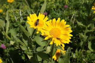 黄色,ヨーロッパ,山,お花,スイス,ハイキング,海外旅行,ハチ