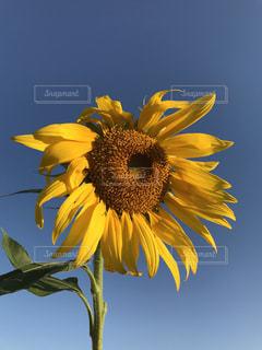 空,花,夏,ひまわり,黄色,黄,yellow