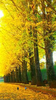 自然,風景,秋,紅葉,鳥,綺麗,景色,イチョウ,銀杏,並木道,鳩,Autumn,キレイ,イチョウ並木