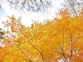 秋,紅葉,黄色,鮮やか,イチョウ,イエロー,カラー,色,黄,yellow,多彩