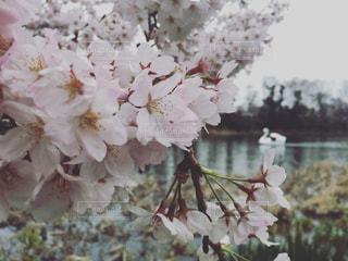 公園,桜,屋外,散歩,池,お花見,アヒル