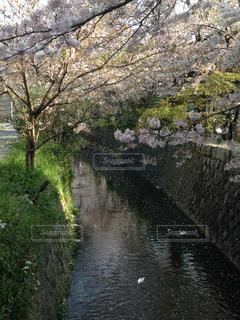桜舞うの写真・画像素材[1834384]