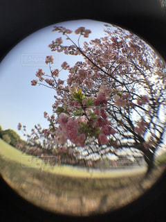 公園,花,春,桜,屋外,東京,散歩,花見,お花見,新宿御苑