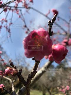 自然,公園,桜,京都,ピンク,晴れ,景色,お花見,植物園,咲き始め