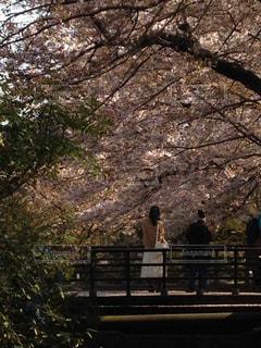 自然,桜,京都,散歩,景色,観光,道,哲学の道,さくら,東山