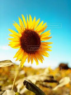 夏,ひまわり,青空,散歩,黄色,ポートレート,ひまわり畑,座間ひまわり畑