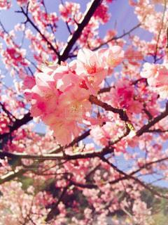 自然,花,春,桜,ピンク,晴天,花見,伊豆,河津桜,河津町