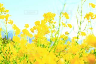 自然,花,春,屋外,黄色,菜の花,鮮やか,イエロー,伊豆,カラー,色,静岡,黄,yellow,多彩