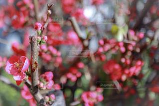 花,春,京都,ピンク,梅,お花見,北野天満宮