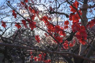 春,屋外,京都,ピンク,赤,梅,鮮やか,お花見,北野天満宮,flower,京都散策