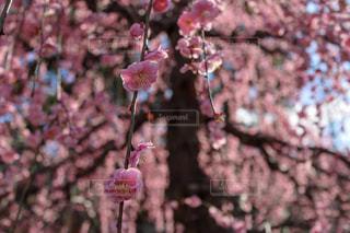 花,春,屋外,京都,ピンク,梅,鮮やか,お花見,flower,京都散策