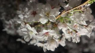 花,桜,夜,花見,夜桜,景色,お花見,さくら