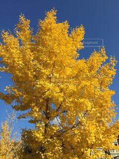 空,紅葉,屋外,青空,黄色,葉,樹木,イチョウ,眺め