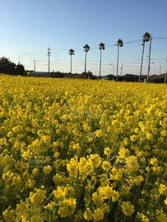 自然,風景,空,花,春,黄色,菜の花,樹木,イエロー,眺め