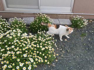 猫,花,春,庭,緑,マーガレット,お花見,地面,草木,ネコ