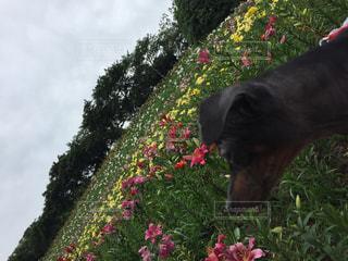 犬,空,公園,花,春,花畑,花見,ゆり,イヌ,ユリ