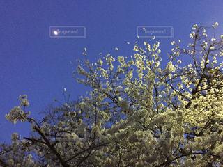 空,春,桜,夜空,夜桜,サクラ,お花見,月