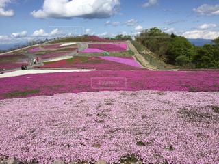 公園,花,春,ピンク,白,山,サクラ,丘,お花見,芝桜
