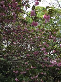 公園,花,春,桜,木,ピンク,サクラ,お花見,八重桜,八重咲き