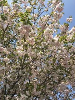 公園,花,春,桜,木,ピンク,散歩,サクラ,お花見,八重桜,八重咲き