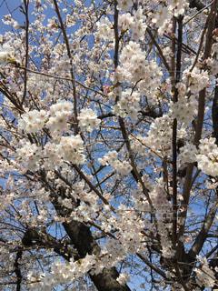 空,公園,花,春,桜,木,ピンク,青空,散歩,サクラ,お花見
