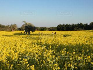 空,公園,花,春,緑,青空,散歩,黄色,菜の花,お花見,イエロー,伊良湖
