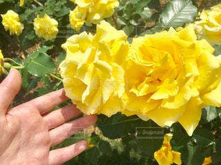 春,黄色,バラ,イエロー,ドライブ,静岡,草木,浜松フラワーパーク