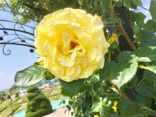 花,黄色,バラ,薔薇,イエロー,ドライブ,浜松フラワーパーク