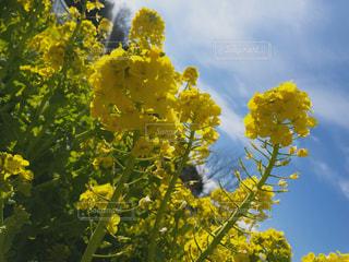 自然,空,お花畑,黄色,お花,お散歩,yellow
