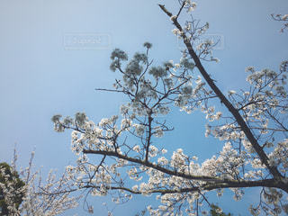 自然,桜,お花見,明るい
