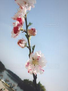 自然,花,桜,お花見,明るい