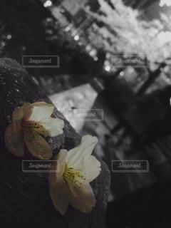 花,桜,モノクロ,夜桜,お花見,黒と白