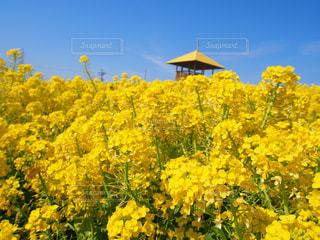 自然,花,春,屋外,青空,黄色,菜の花畑,yellow,愛知牧場,ハッピーカラー