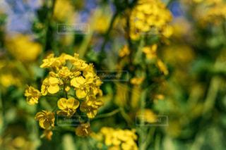 自然,花,春,お花畑,花畑,緑,黄色,菜の花,鮮やか,東京都,イエロー,カラー,色,黄,nature,緑色,yellow,多彩