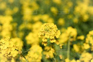 花,春,屋外,黄色,菜の花,景色,草花,美しい,アップ,flower,菜の花畑,カラー,色,黄,nature,草木,フォトジェニック
