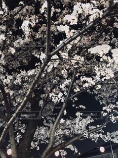自然,花,春,夜桜,樹木,お花見