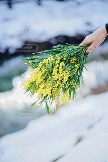自然,花,雪,屋外,植物,黄色,手,ミモザ,色,黄,yellow