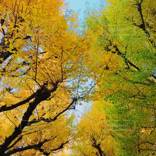 公園,花,秋,紅葉,葉っぱ,散歩,黄色,葉,景色,樹木,イチョウ,銀杏