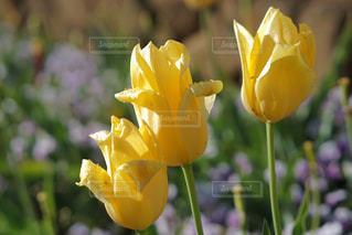 自然,風景,春,黄色,水滴,チューリップ