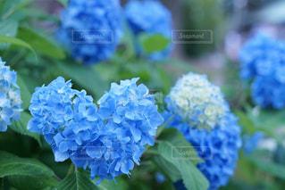 自然,風景,花,屋外,青,ハート,紫陽花,幸せ,雨上がり,フローラ