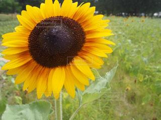 自然,花,夏,植物,ひまわり,黄色,夏休み,イエロー,ひまわり畑,yellow