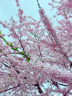 春,桜,庭,満開,大木,お花見,ソメイヨシノ,さくら