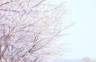 空,桜,屋外,ピンク,桜並木,樹木,お花見,桜の雨