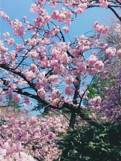 自然,風景,空,春,桜