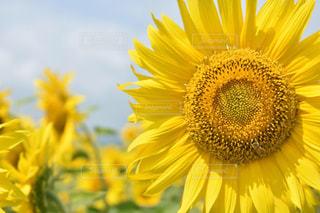 自然,風景,花,夏,ひまわり,黄色,向日葵,たくさん,ひまわり畑,yellow