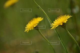 自然,風景,花,黄色,草花,たんぽぽ,yellow,タンポポ