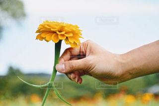 自然,風景,花,お花畑,黄色,手,人物,人,マリーゴールド,yellow