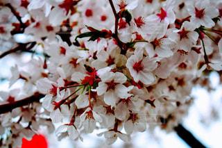 花,春,桜,屋外,ピンク,お花見