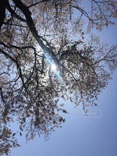 自然,花,春,桜,屋外,ピンク,お花見
