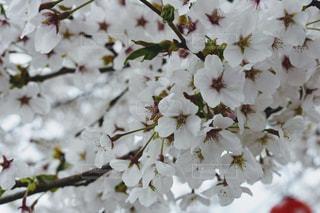 自然,花,春,桜,屋外,お花見